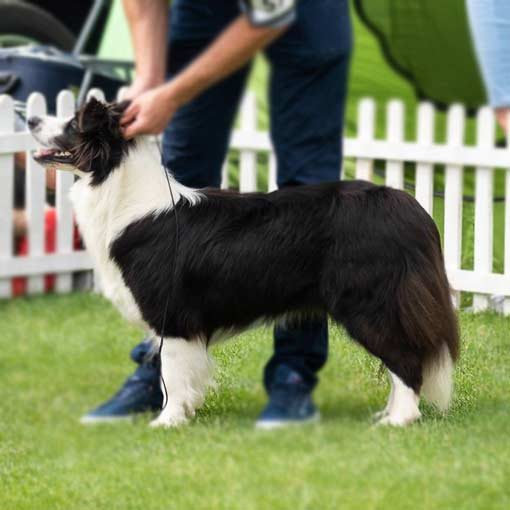 hodowla fci border collie