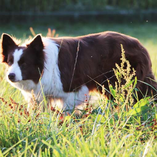 hodowle fci border collie