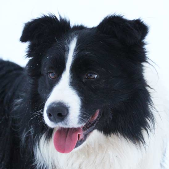 hodowla ISDS border collie