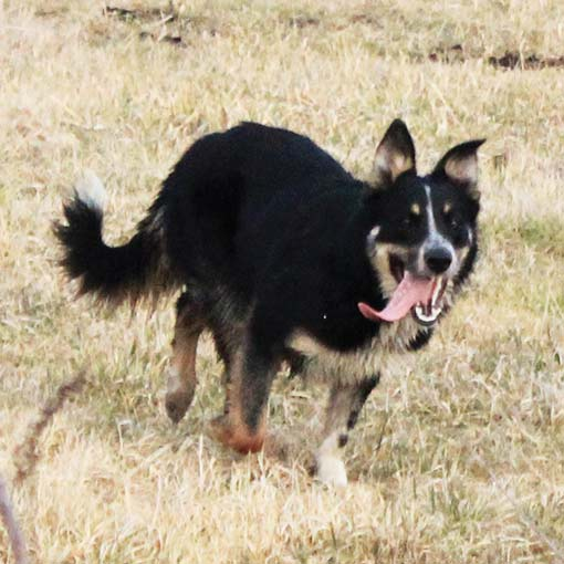 hodowle ISDS border collie